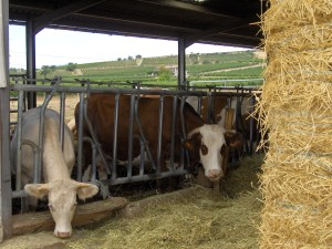 vaches qui mangent